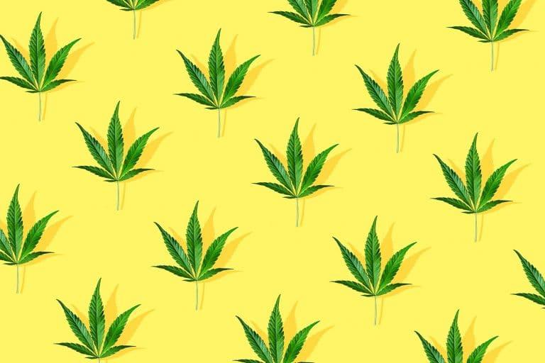 feuilles de chanvre