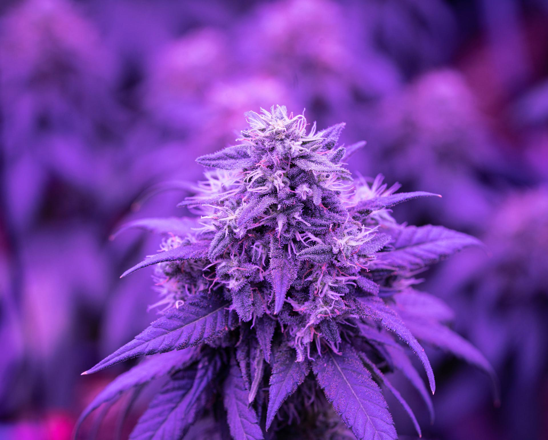 tête d'une plante de cannabis